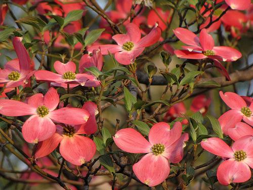somfa-virága