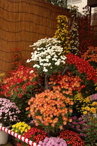 Krizantém, Chrysanthemum