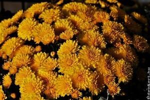 Hogyan gondozzuk a krizantémot, hogy tele legyen virággal?