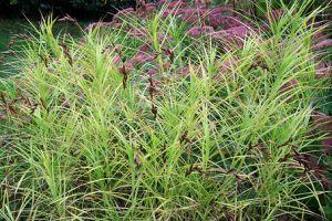 Mit kell tudnunk a sás (Carex) neveléséről?