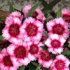 Érdekességek a szegfűről (Dianthus)