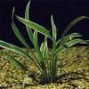 Hogyan gondozzuk a csokrosindákat (Clorophytum)?