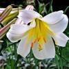 Hogyan neveljünk szép liliomot?