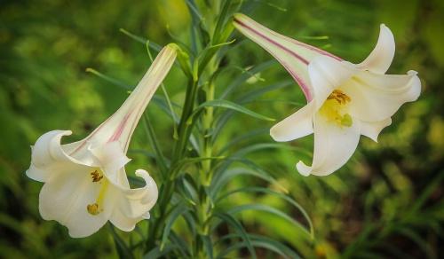 white-trumpet-lily-195122_1280