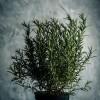 Hogyan termesszünk otthon rozmaringot?