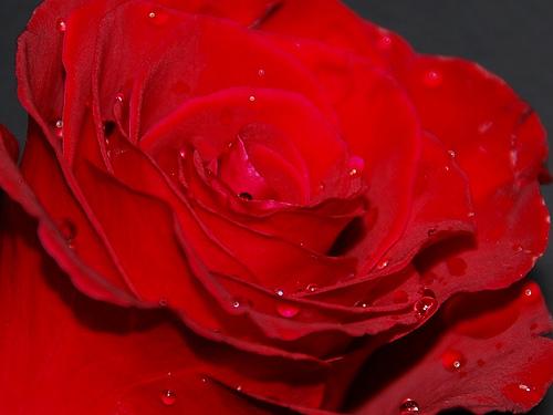 Amiga Mia rózsa