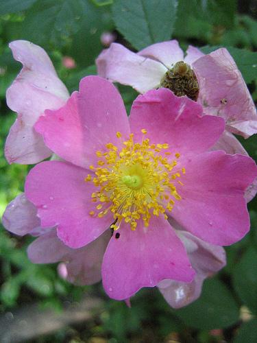 Rosa setigera rózsa