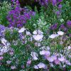 Lila színű növények - Hogyan díszítik a kerünket? - 1. rész