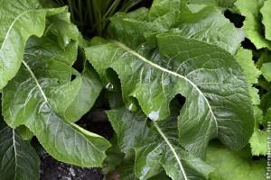 Torma termesztése kiskertben