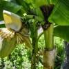 A banán gondozásának lépései