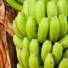Hogyan ültessünk banánt?