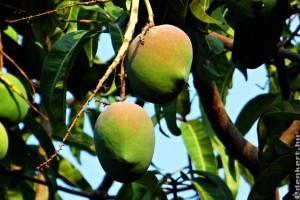 Mit kell tudni a mangó termesztéséről? - 1. rész