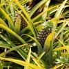 Az ananász (Ananas comosus) termesztése - 1. rész