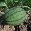Amit a görögdinnye termesztéséről tudni kell! - 2. rész