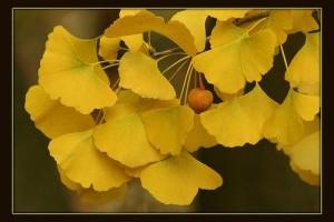 Milyen növény a páfrányfenyő (Ginkgo biloba)?