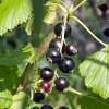Milyen gondozást igényel a fekete ribizli? Ültetés, szaporítás