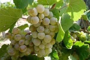 Mi szükséges a sikeres szőlőtermesztéshez? - 2. rész