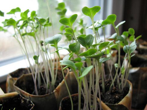 Kelbimbó-termesztése