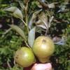 Védjük meg gyümölcsfáinkat a gubacsatkáktól!