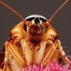 Az amerikai csótány (Periplaneta americana) káros hatása