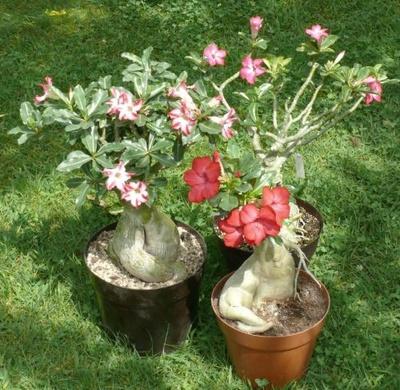 sivatagi rózsák, adenium obesum, rózsa