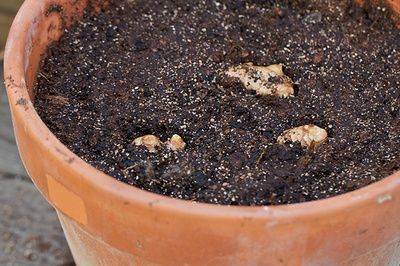 gyömbér termesztése