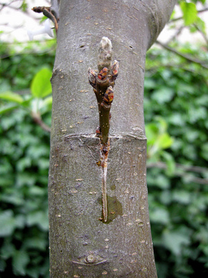 almafa-szaportitasa-termesztese