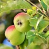 Szaporítható-e az alma magról?