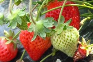 Hogyan termesszünk bio földiepret? - 2. rész