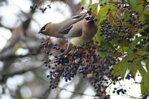 Hogyan védjük meg gyümölcseinket a madaraktól? - 2. rész