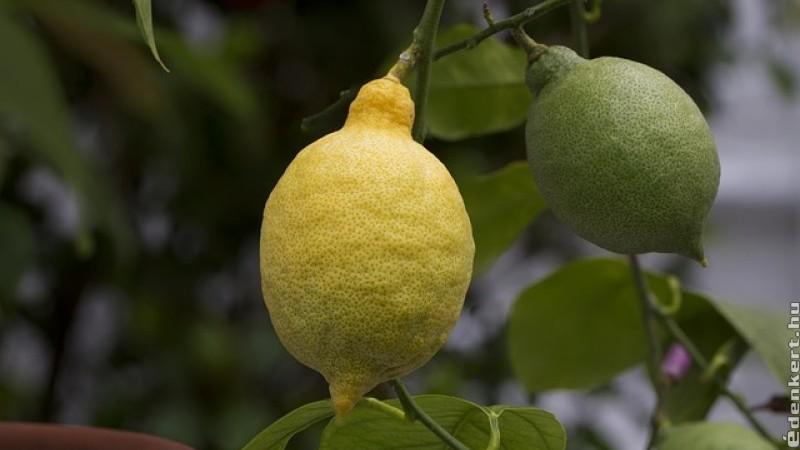 Hogyan neveljünk citrusfákat a házban?