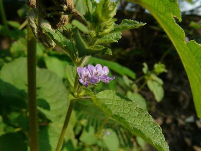 Tulsi-növény