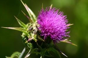 Silibinin – Egy ígéretes új kezelés a rák ellen