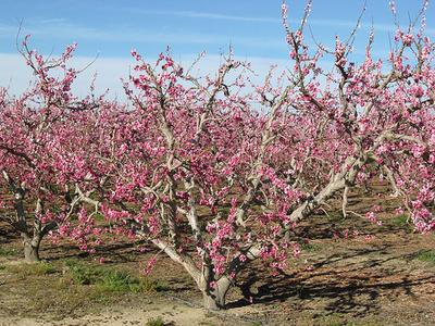 Törpe-gyümölcsfa