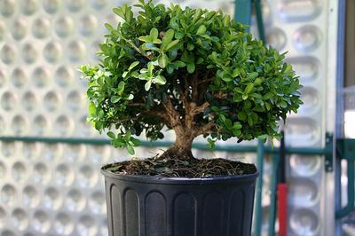 Cserepes-gyümölcsfa