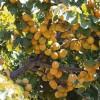 Amit a  törpe gyümölcsfákról tudni kell! - 2. rész