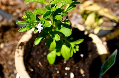 Sztívia-termesztése
