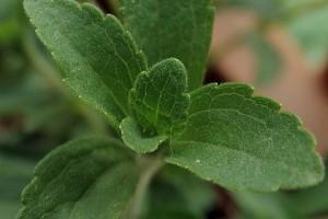 Hogyan termesszünk sztíviát (Stevia rebaudiana )? - 3. rész