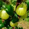 Mit kell tudni a köszméte termesztéséről? - 1. rész