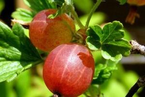 Mit kell tudni a köszméte termesztéséről? - 2. rész