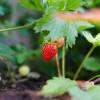 A földieper termesztése - 1. rész