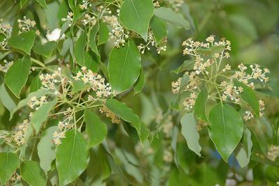 Kámfor-Cinnamomum-camphora