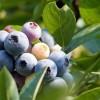 Amit a fürtös áfonya termesztéséről tudni kell - 2. rész