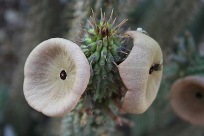 Hoodia-gordonii