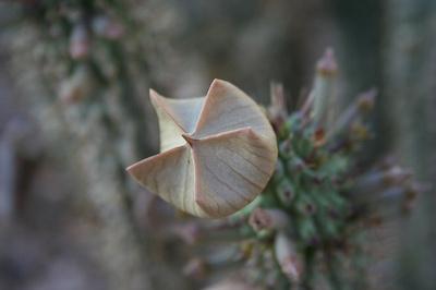 Hoodia-gordonii-növény