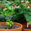 Rovarriasztó növények a kertünkben