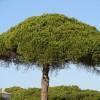 Ismerjük meg a mandulafenyőt (Pinus Pinea)! - 1. rész