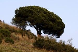 Ismerjük meg a mandulafenyőt (Pinus pinea)! - 2. rész