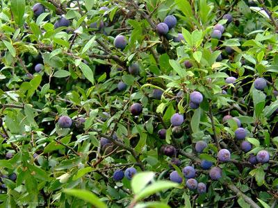 Kökény-Prunus-spinosa