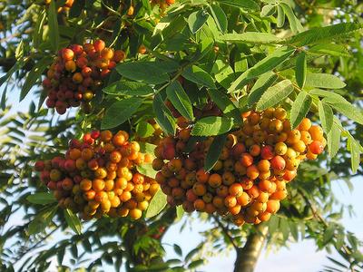 Madárberkenye-gyümölcs